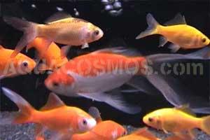origine et histoire du poisson rouge